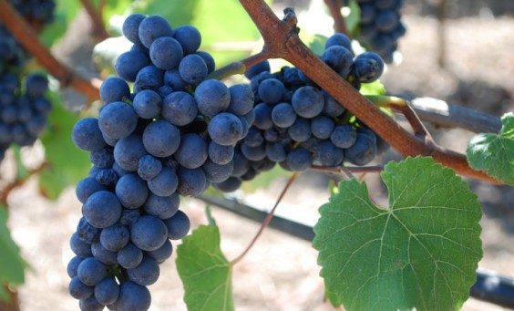 pinot-noir-grapes_PresseRaisin