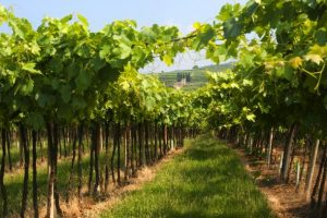 veneto-summer-vineyard-in-lessinia